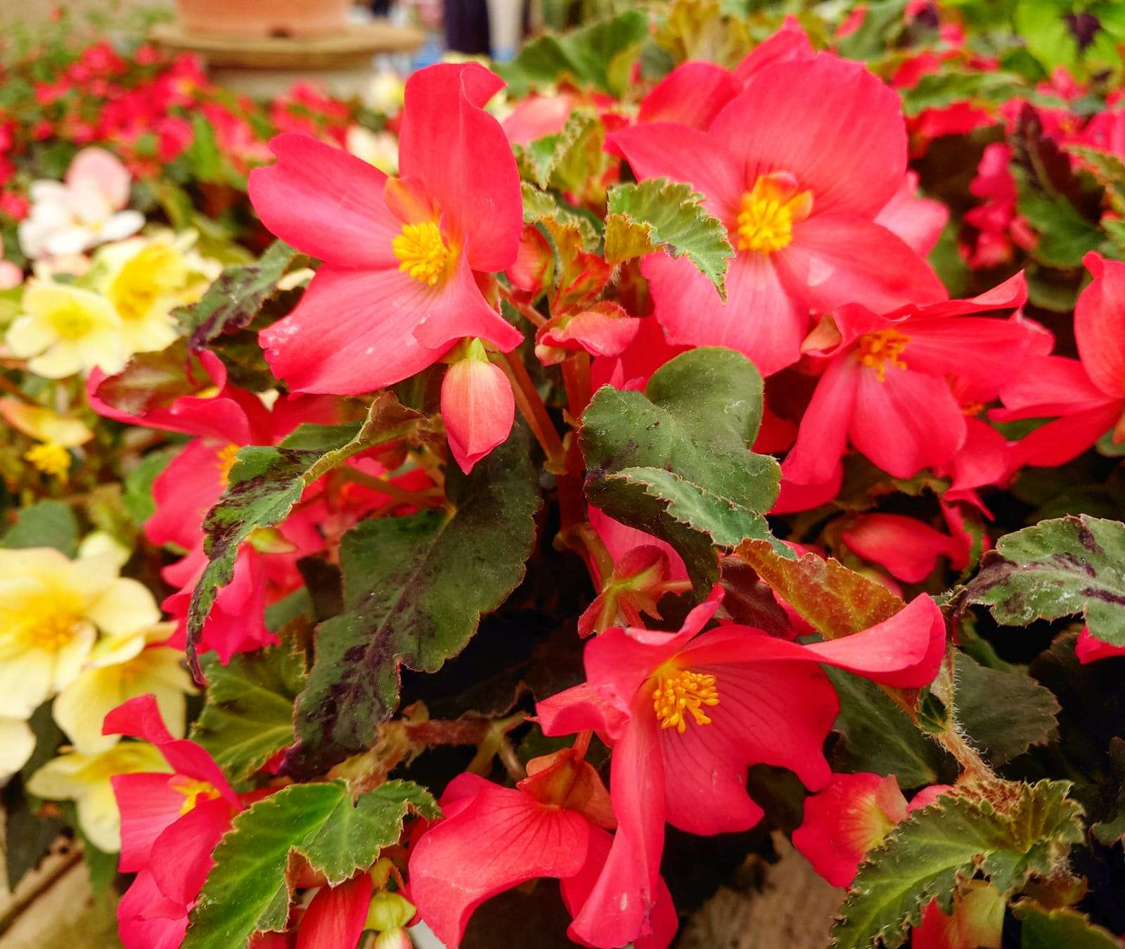 Begonia tuberhydrida