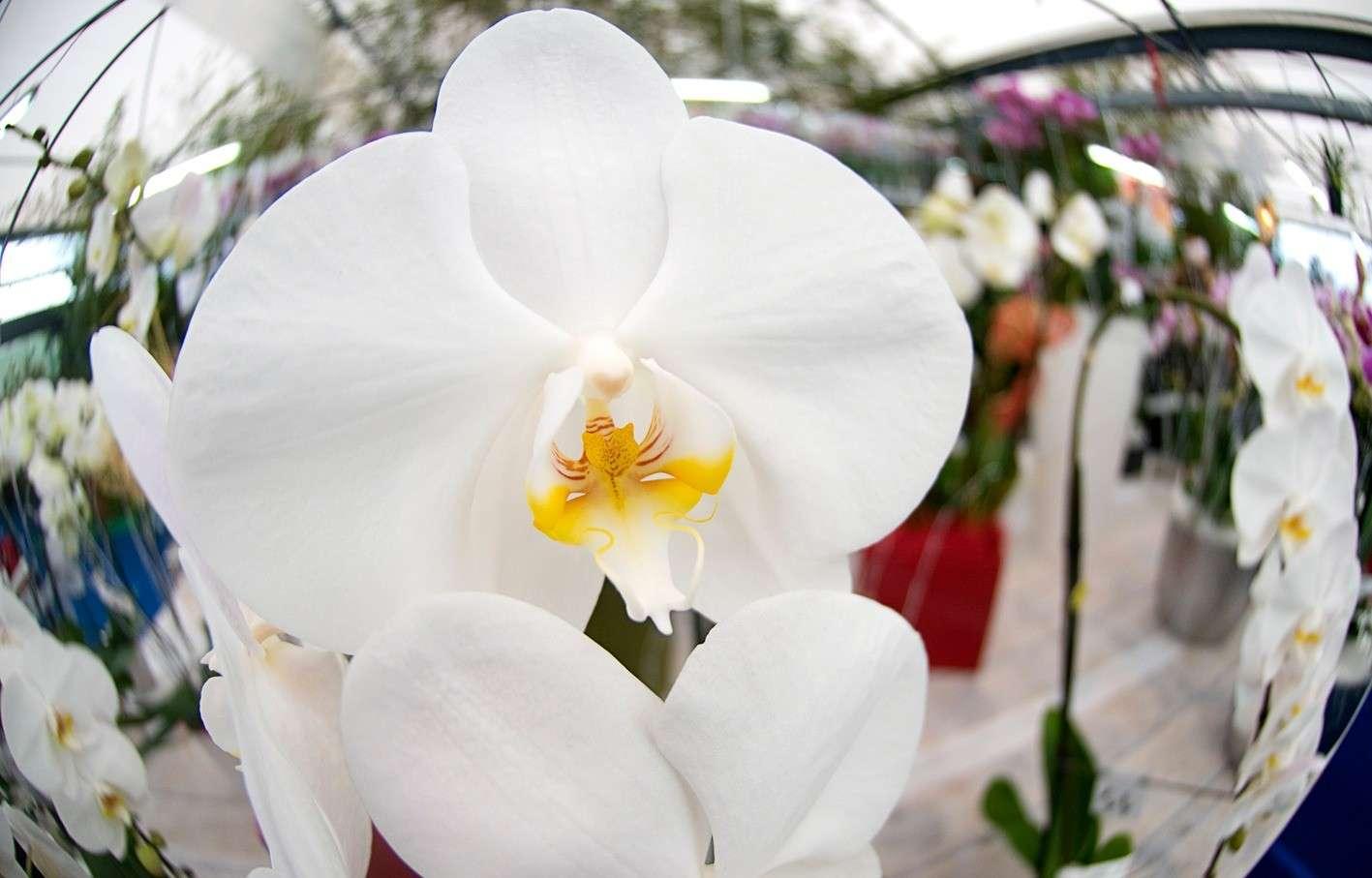 Festa dell'orchidea  2017